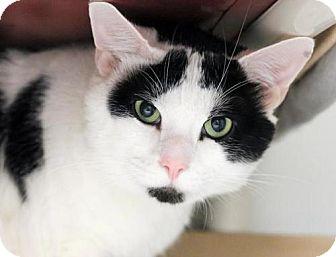 Domestic Shorthair Cat for adoption in Somerville, Massachusetts - Dino