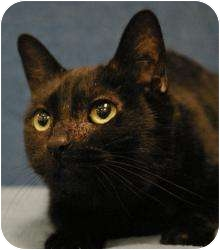 Domestic Shorthair Cat for adoption in Sacramento, California - Bastet