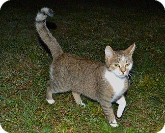Domestic Shorthair Kitten for adoption in Stafford, Virginia - Jezebel