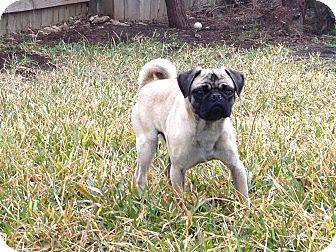 Pug Dog for adoption in Austin, Texas - Douglas