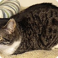 Domestic Shorthair Cat for adoption in Middle Island, New York - Felix