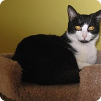 Domestic Shorthair Cat for adoption in Jacksonville, Florida - Diego 0321