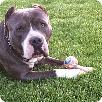 American Staffordshire Terrier Dog for adoption in Redmond, Oregon - Beau
