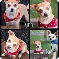 Adopt A Pet :: Chief - West Richland, WA