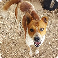 Cattle Dog/Catahoula Leopard Dog Mix Dog for adoption in San antonio, Texas - Spot