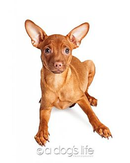 Miniature Pinscher/Chihuahua Mix Dog for adoption in Tempe, Arizona - Simon