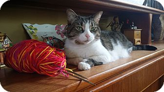 Domestic Shorthair Cat for adoption in Toronto, Ontario - Laverne