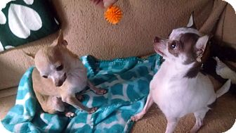 Chihuahua Mix Dog for adoption in kennebunkport, Maine - Magen Rose & Angel - in Maine