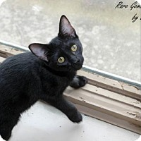 American Shorthair Kitten for adoption in Flora, Illinois - Jacob