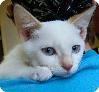 Siamese Kitten for adoption in Rosamond, California - Adam