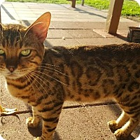 Adopt A Pet :: Shere Khan - Parlier, CA