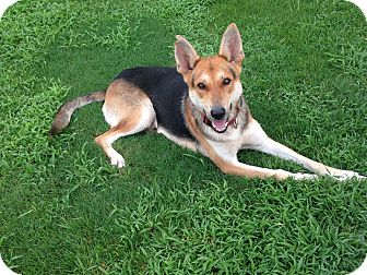 German Shepherd Dog Mix Dog for adoption in Greeneville, Tennessee - Felix