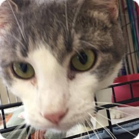 Domestic Shorthair Cat for adoption in Middletown, New York - Mable