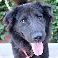 Adopt A Pet :: Santo - Seattle, WA