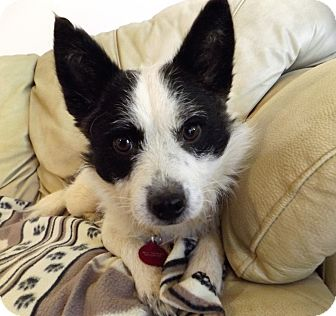 Cairn Terrier/Fox Terrier (Wirehaired) Mix Dog for adoption in Chicago, Illinois - Trixie