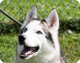 Siberian Husky Dog for adoption in Harvard, Illinois - Leica