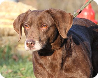 Labrador Retriever Mix Dog for adoption in Marietta, Ohio - Bear (Neutered)-New Photos