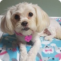 Adopt A Pet :: Maddy - Troy, MI