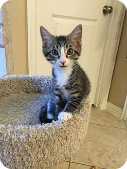 Domestic Shorthair Kitten for adoption in Dallas, Texas - Carrington