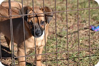 Chihuahua Mix Puppy for adoption in Springfield, Virginia - Pressley