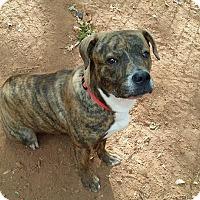 Adopt A Pet :: Celine - West Springfield, MA