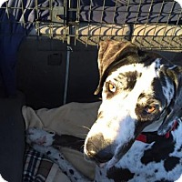Adopt A Pet :: Hank - Lakewood, CO