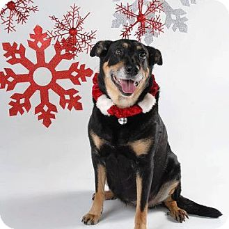 Rottweiler/Shepherd (Unknown Type) Mix Dog for adoption in Surrey, British Columbia - Angel