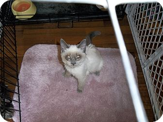 Siamese Kitten for adoption in Modesto, California - Lola