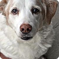 Adopt A Pet :: Rizzo - Fairfax Station, VA
