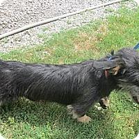 Adopt A Pet :: *Little Buster - PENDING - Westport, CT