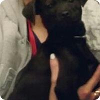 Adopt A Pet :: Isadora - great shlab pup! - Phoenix, AZ