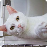 Adopt A Pet :: Icy - Merrifield, VA