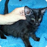 Adopt A Pet :: Weston - Gilbert, AZ