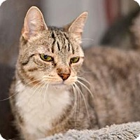 Domestic Mediumhair Cat for adoption in Queens, New York - Pepper