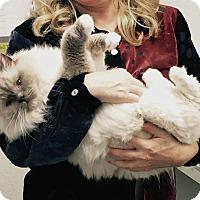 Adopt A Pet :: Bella Blue - Davis, CA