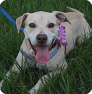 Labrador Retriever Mix Dog for adoption in Tampa, Florida - Mona