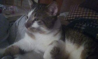 Domestic Shorthair Cat for adoption in Naples, Florida - Julian