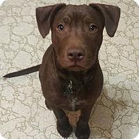 Adopt A Pet :: Bear - Laplace, LA