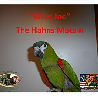Adopt A Pet :: KILLER JOE Hahns Mini-Macaw - Vancouver, WA