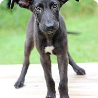 Adopt A Pet :: Issac II - Waldorf, MD