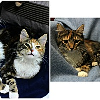 Adopt A Pet :: Sugar & Xena - Forked River, NJ