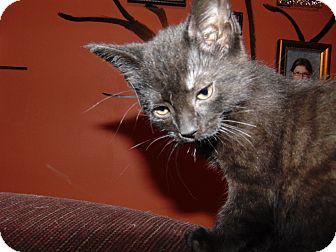 Domestic Shorthair Kitten for adoption in Kenton, Ohio - Ebony