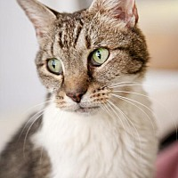 Domestic Shorthair Cat for adoption in Stafford, Virginia - Porsche