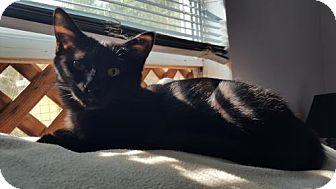 Domestic Shorthair Cat for adoption in Denver, Colorado - Gretel