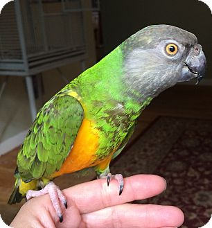 Poicephalus (including Senegal and Meyer's) for adoption in Stratford, Connecticut - Bopper