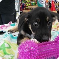 Adopt A Pet :: Ellen - Hainesville, IL