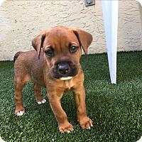 Labrador Retriever Mix Puppy for adoption in Ft. Lauderdale, Florida - Rafe