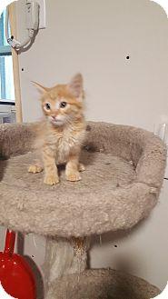 Domestic Shorthair Kitten for adoption in Wichita, Kansas - Horace