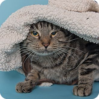 Domestic Shorthair Cat for adoption in Wilmington, Delaware - Miguel