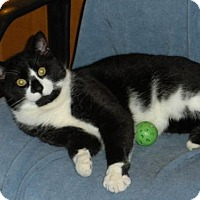 Domestic Shorthair Cat for adoption in Washington, Virginia - Tucker